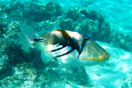 Adventure Cook Islands: Picasso Triggerfish