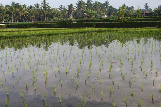Wapa di Ume Resort and Spa: Rice paddy trek easy walk from Wapa di Umi