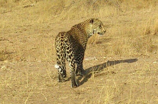 Motswari Private Game Reserve: Young male leopard game drive motswari