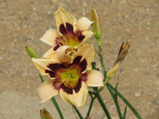 Denver Botanic Gardens: Lilies