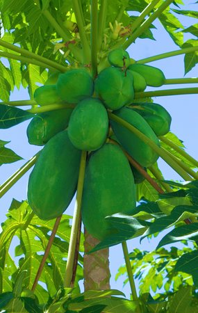 Talanoa Fales Accommodations: Fresh papaya for breakfast in the garden
