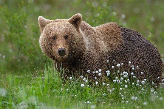 Wild Sweden - wildlife tours: Brown bear