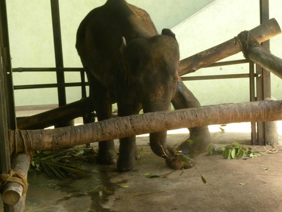 Pinnawala Elephant Orphanage: Sad three legger