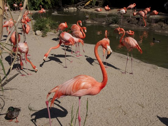 San Diego Zoo: The flamingos seem more orange than pink...