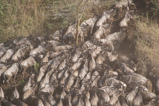 Entim Camp: Wildebeest crossing