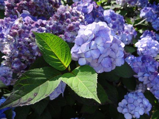 Blithewold Mansion, Gardens & Arboretum: blue hydrangea