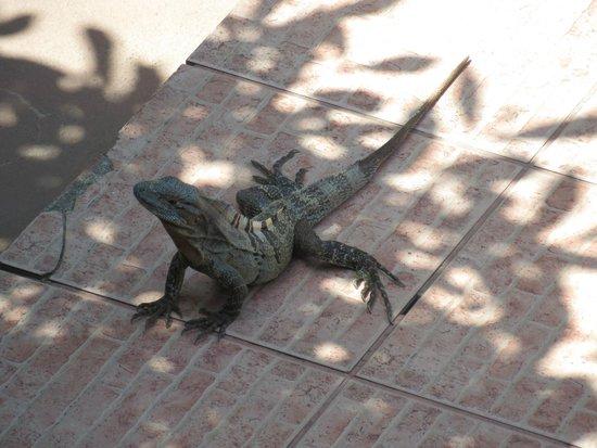 Copacabana Hotel & Suites : Iguana!