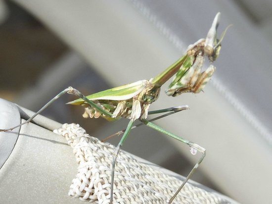 Pounda Paou: Local wildlife - Praying Mantis