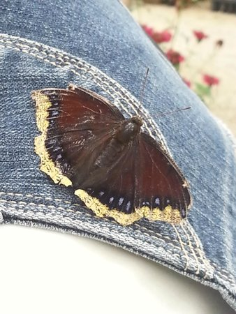 Butterfly Gardens of Wisconsin : Mourning Cloak landed on my shoulder