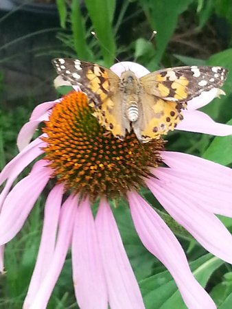 Butterfly Gardens of Wisconsin : Painted Ladies sipping from flowers
