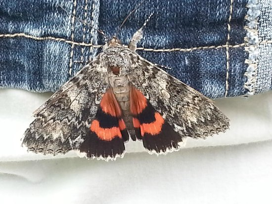 Butterfly Gardens of Wisconsin : Underwing Moth landed on my jacket