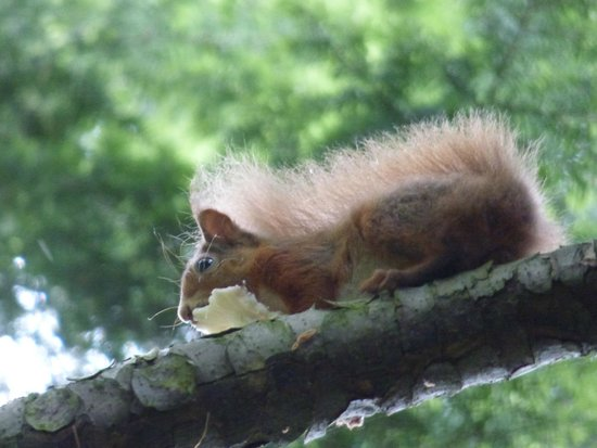 Blair Castle and Hercules Gardens: Red squirrel eating cheese!