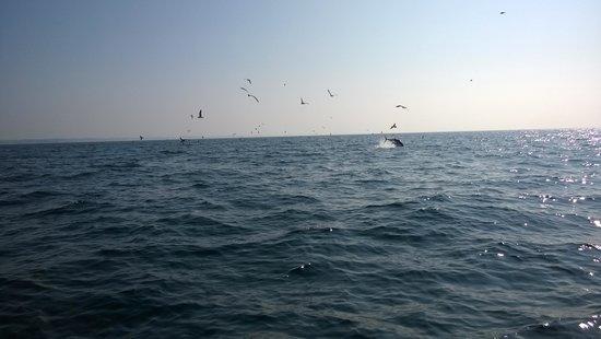 Cape Cruiser: Jumping Tuna