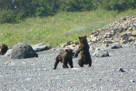 Alaska Bear Adventures: Bear cubs at play