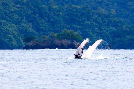 Panama Dive Center : whales 3