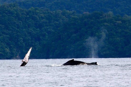 Panama Dive Center : whales 4