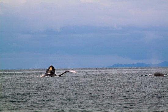 Panama Dive Center : whales