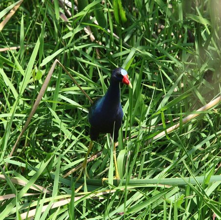 Everglades River of Grass Adventures -Tours: Pretty bird!