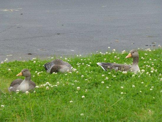 Videy Island: The Angry Ducks of Sundahofn - give them space!