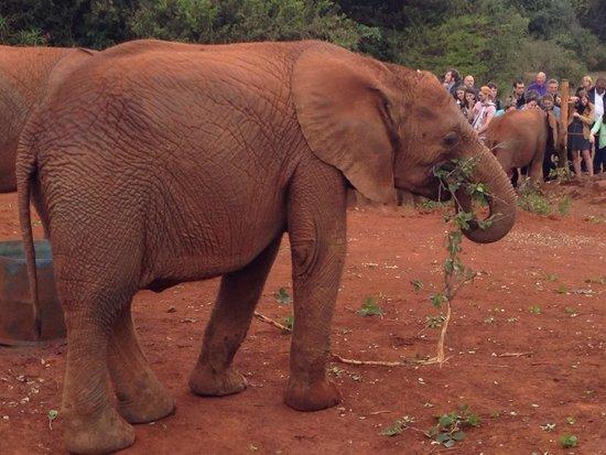David Sheldrick Wildlife Trust: Young elephant eating