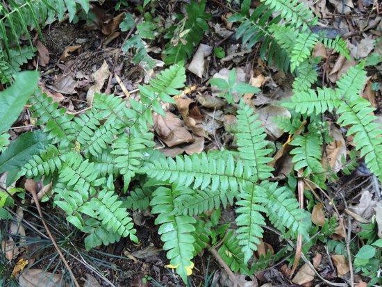 Royal Botanical Gardens: Broadleaf maidenhair Adiantum Latifolium