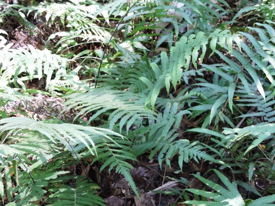 Royal Botanical Gardens: Binung Christella Dentata