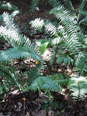 Royal Botanical Gardens: Boston fern Nephrolepis Exaltata