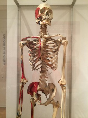 International Museum of Surgical Science: Skeleton