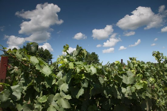 Sand Castle Winery: The vineyards on a bright summer day