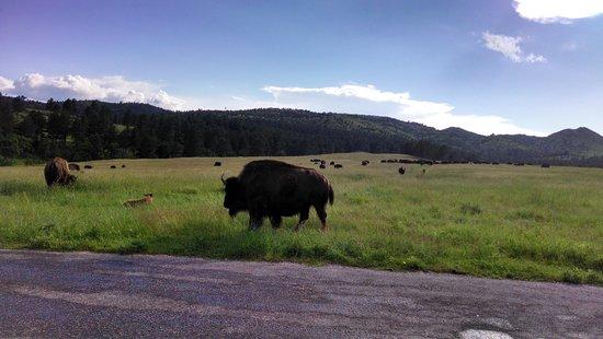 Custer State Park: The Buffalo Roam!