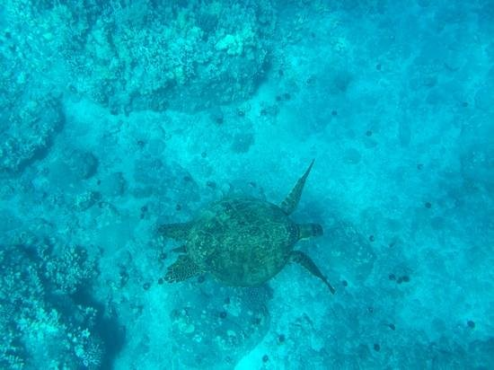 Pacific Whale Foundation : turtle