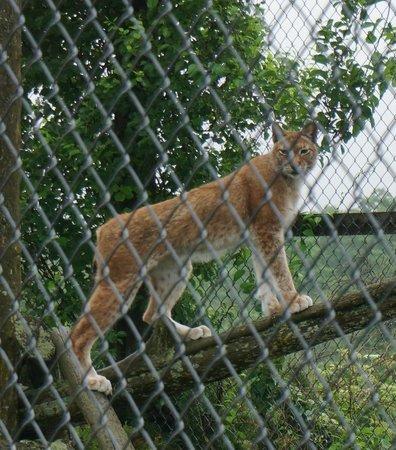 Acadia Zoo-Kisma Preserve: Lynx