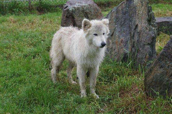 Acadia Zoo-Kisma Preserve: Kalani - wolf