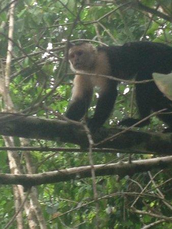 Drake Bay, Costa Rica: Capuchin Monkey