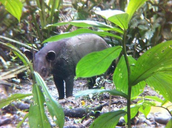 Drake Bay, Costa Rica: Tapir