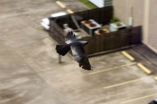 New Orleans Marriott Metairie at Lakeway: Mississippi Kite from our window