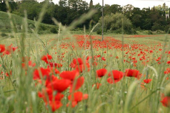 Agriturismo Podere Santa Maria : A poppy field captured close to Maura's home.