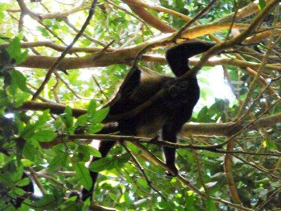 Iberostar Tucan Hotel: Monkeys