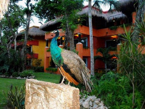 Iberostar Tucan Hotel: Peacock
