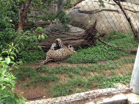 Cameron Park Zoo : Leopard scratching on tree