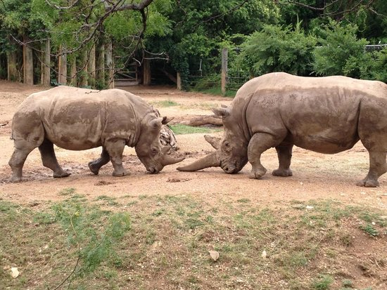 Cameron Park Zoo: Rhinos fighting