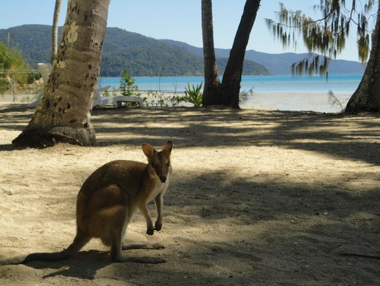 Long Island Resort: Friendly wallabies