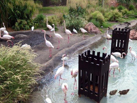 Disney's Animal Kingdom Lodge: Flamingos