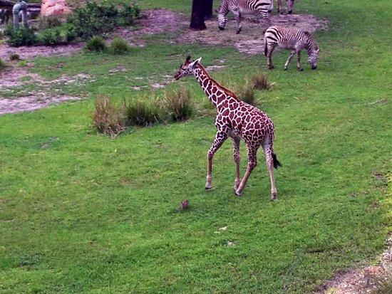 Disney's Animal Kingdom Lodge: Giraffe
