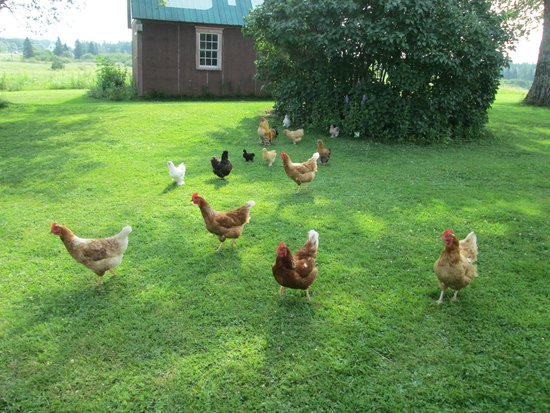 The English Experience Bed and Breakfast: Loved hearing the chickens in the morning