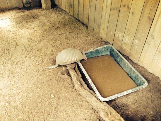 Oatland Island Wildlife Center: Cute little 9-banded armadillo!