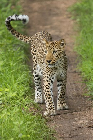 Chinzombo - Norman Carr Safaris : Leopard: we backed up 6-8 times to take photos!