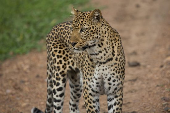 Chinzombo - Norman Carr Safaris : Leopard sightings are common in South Luangwa