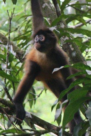 Bosque del Cabo Rainforest Lodge : Monkey near our cabina