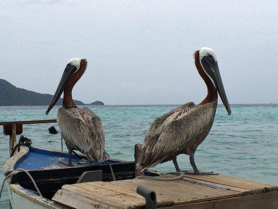 Cayos Cochinos: пеликаны